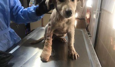 Yaralı köpeğin imdadına Adıyaman Belediyesi yetişti