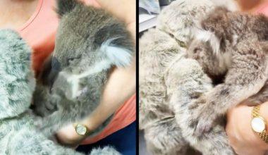 Yangında Öksüz Kalan Koala, Oyuncak Ayıyı Annesi Zannetti