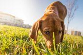 Köpekler Hastalıklı Ağaçları Önceden Tespit Edebiliyor