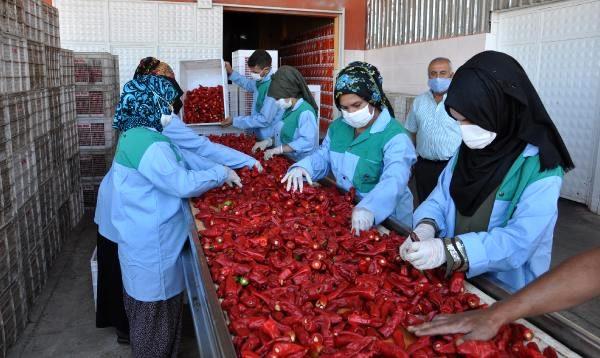 İslahiye'de yetiştirilen kırmızı biber, 7 bin kişinin geçimini sağlıyor